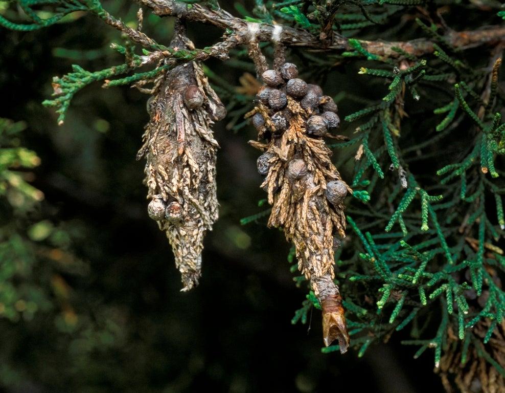 Evergreen Bagworm