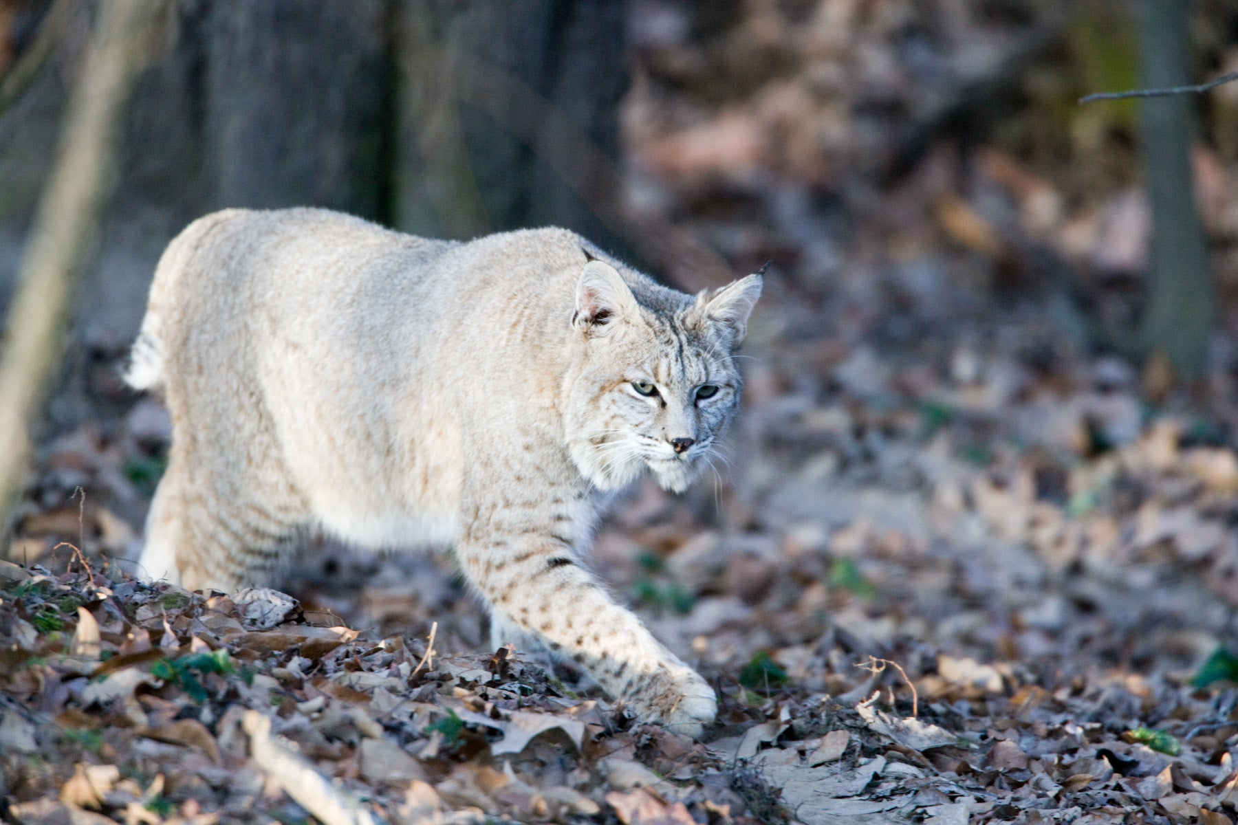 bob the cat Owing its common name to its short 'bobbed' tail, the bobcat (lynx rufus) has the widest distribution of any native cat in north a.