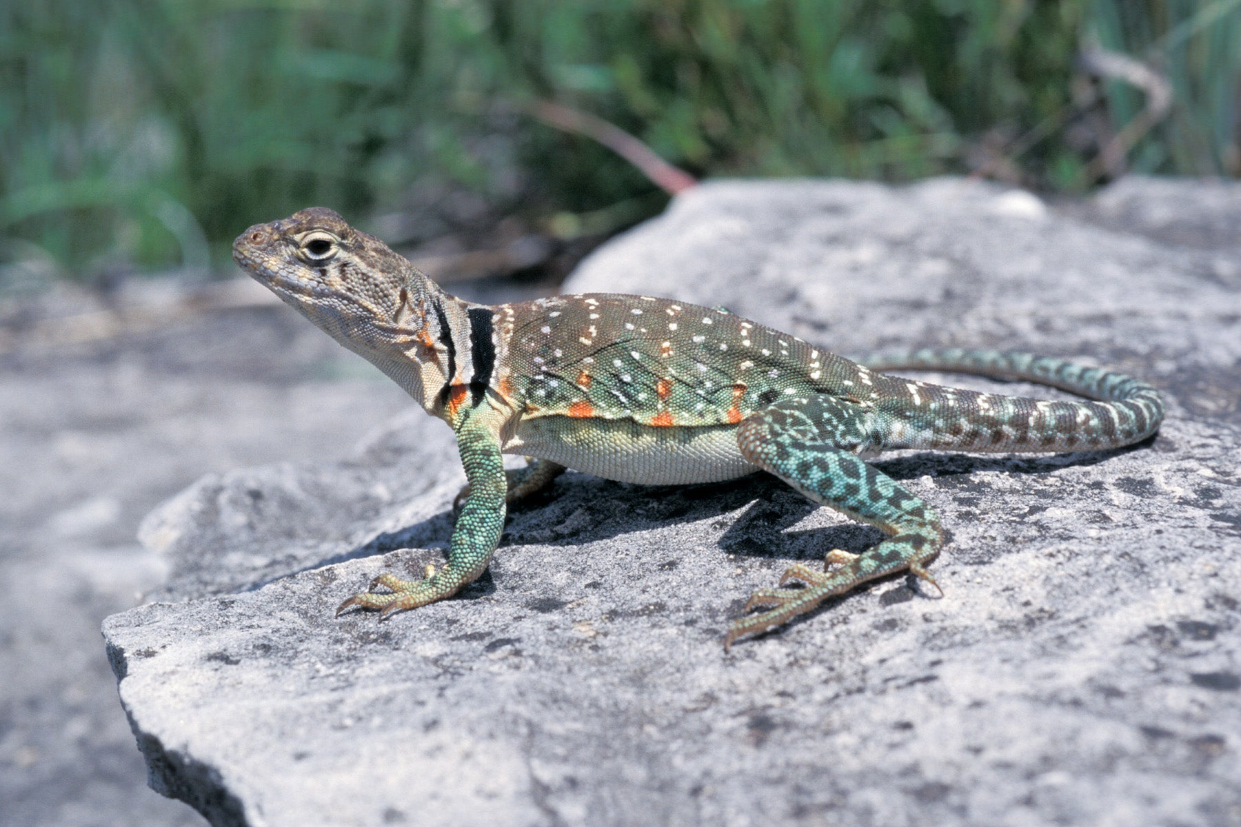 Eastern Collared Lizard | MDC Discover Nature