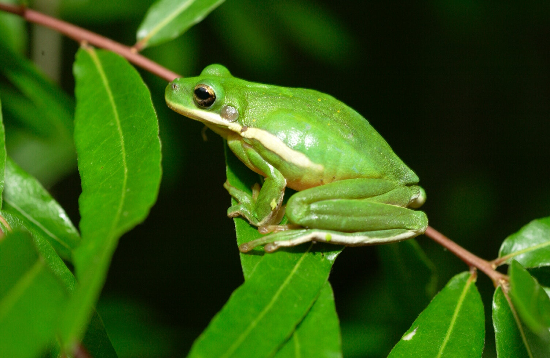 green tree frog - HD 1800×1172