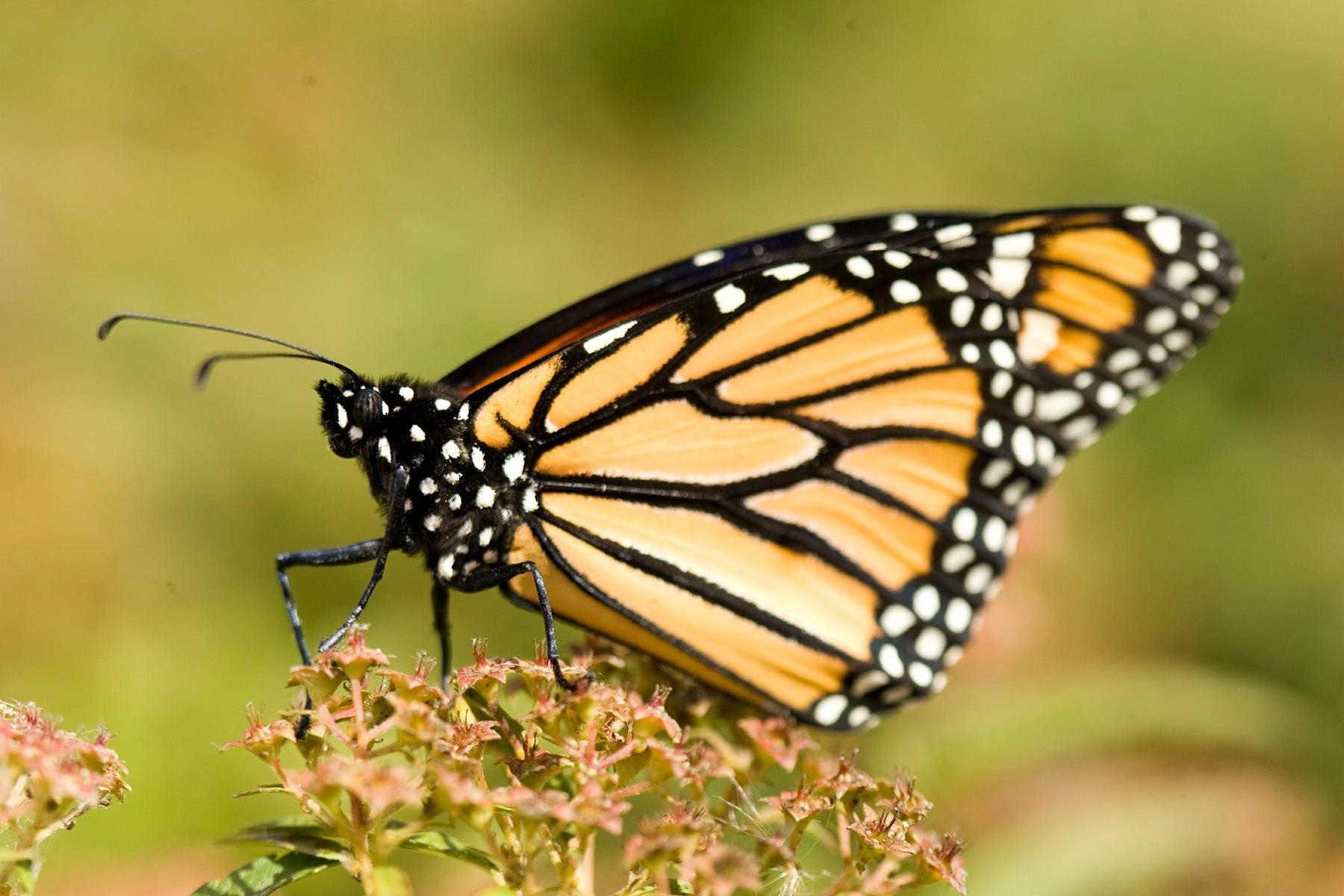 Butterfly Butterfly