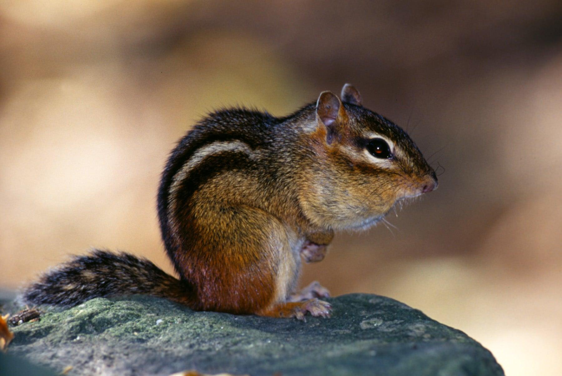 Eastern Chipmunk | MDC Discover Nature