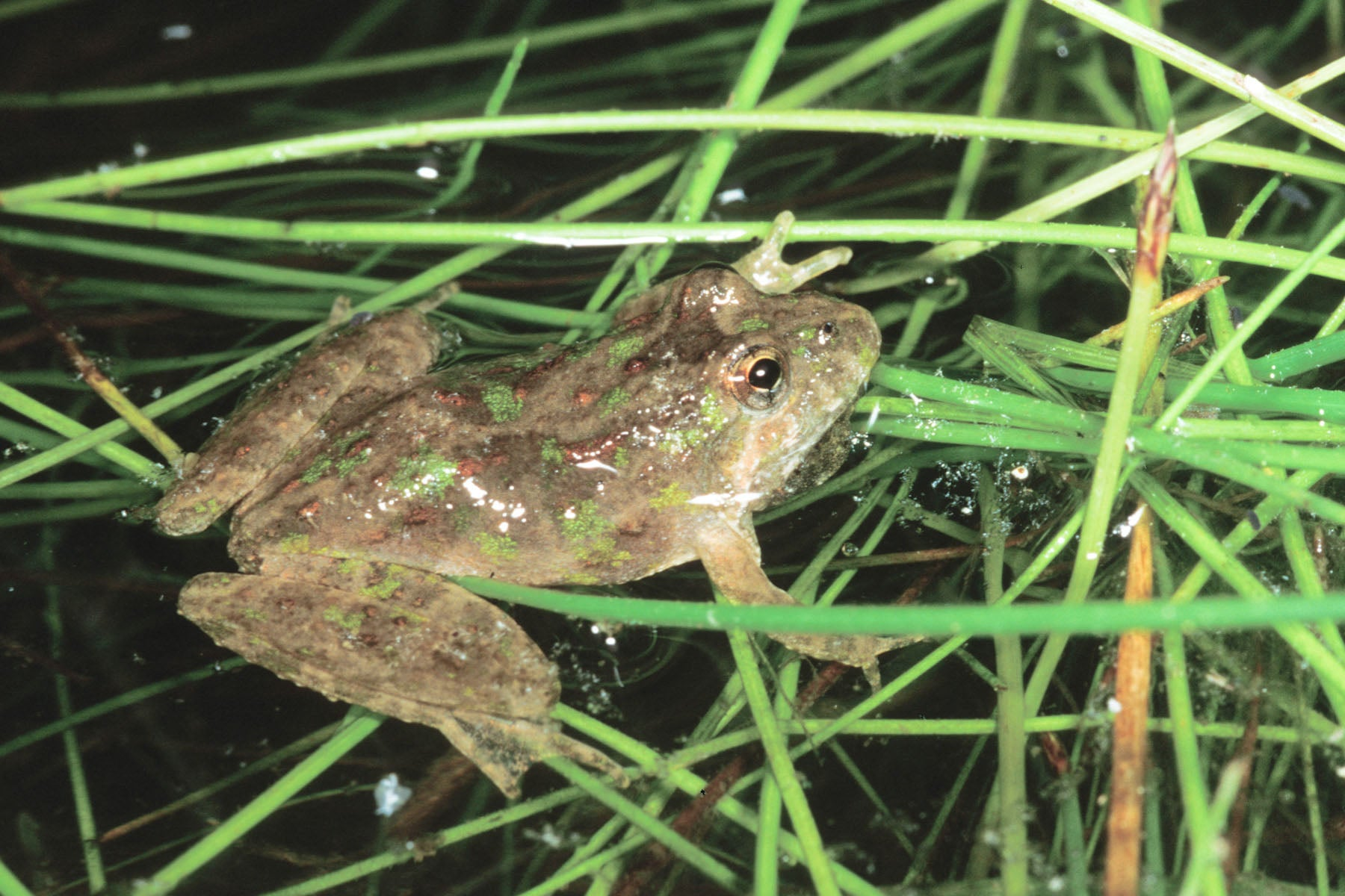 northern cricket frog mdc discover nature