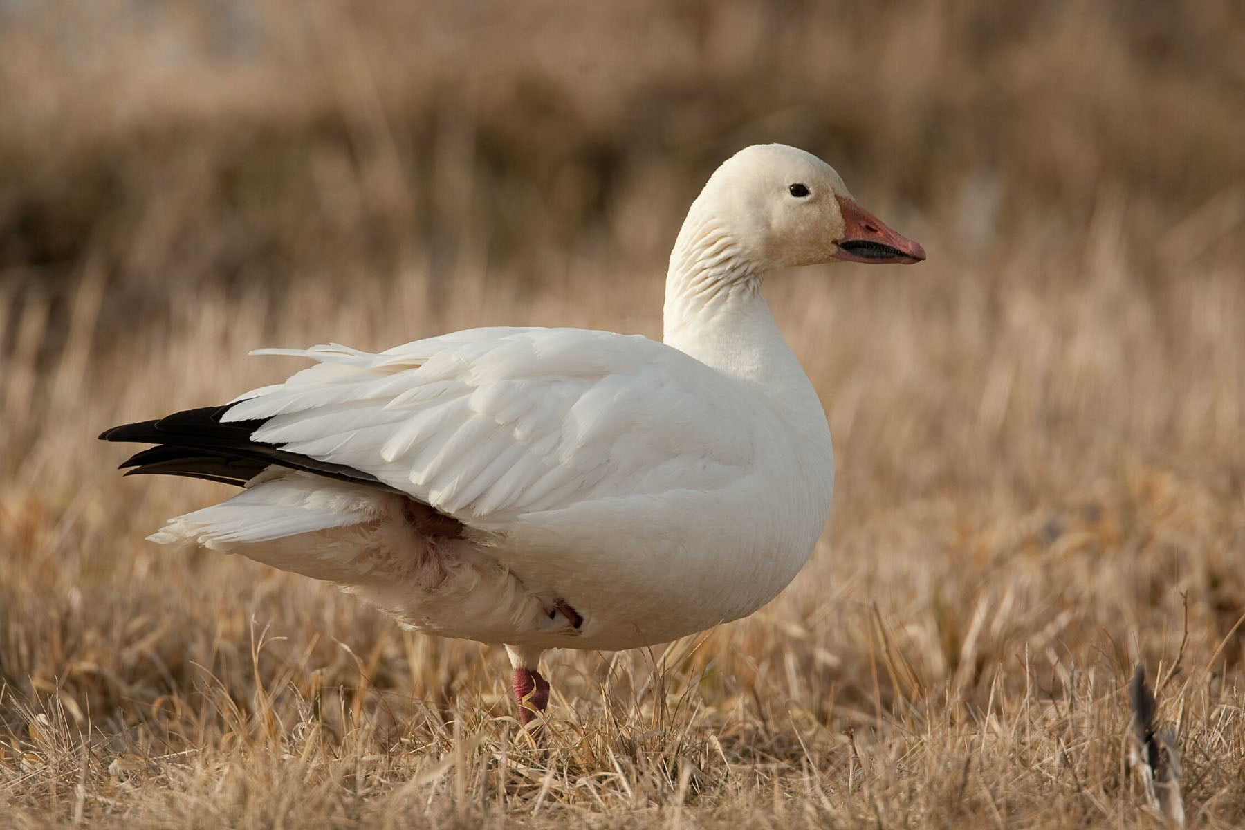 Snowgoose Jpg Mdc Discover Nature
