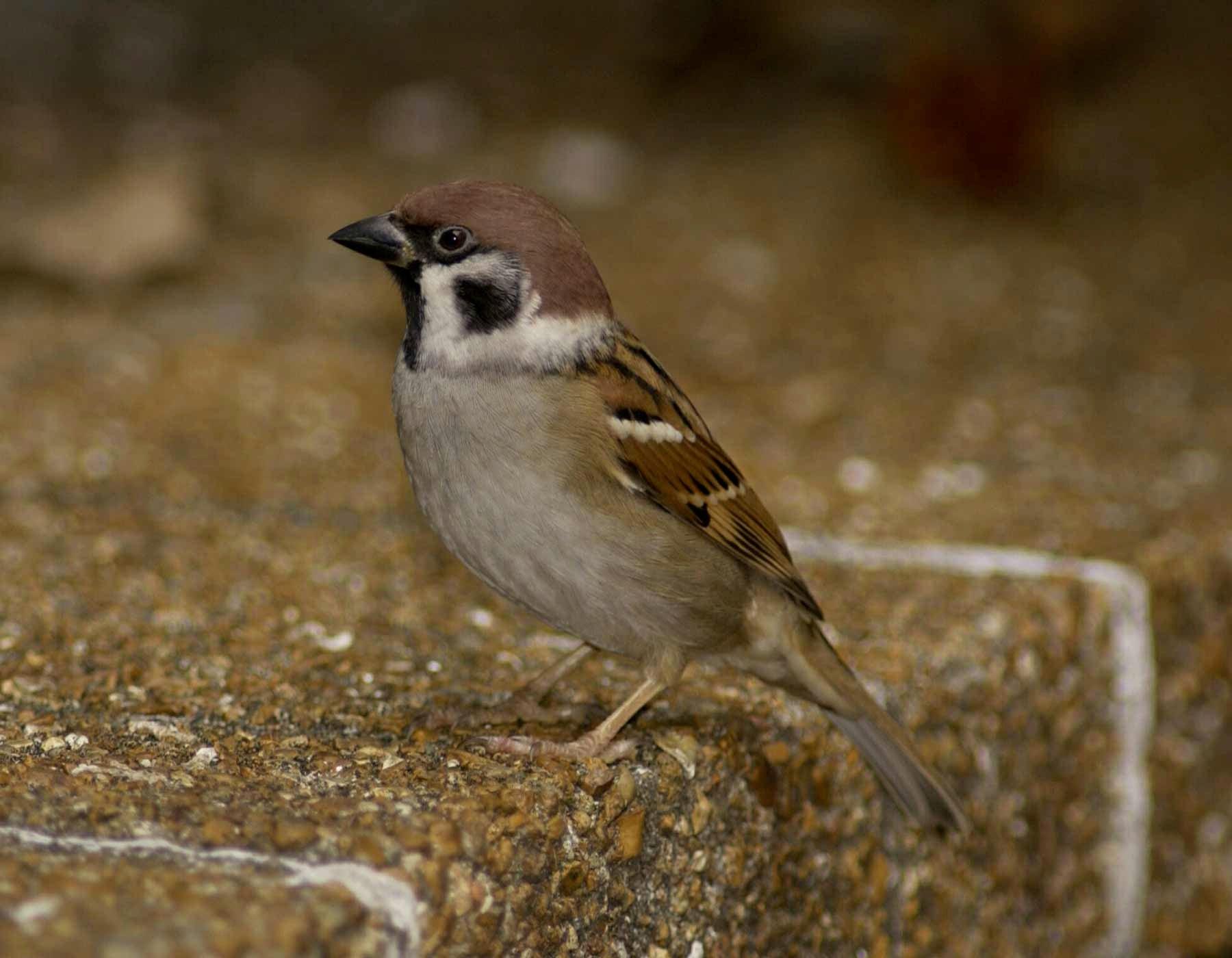 sparrow deutsch