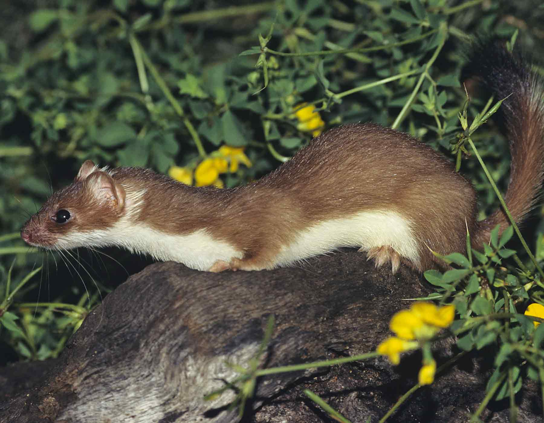 Long Tailed Weasel Mdc Discover Nature
