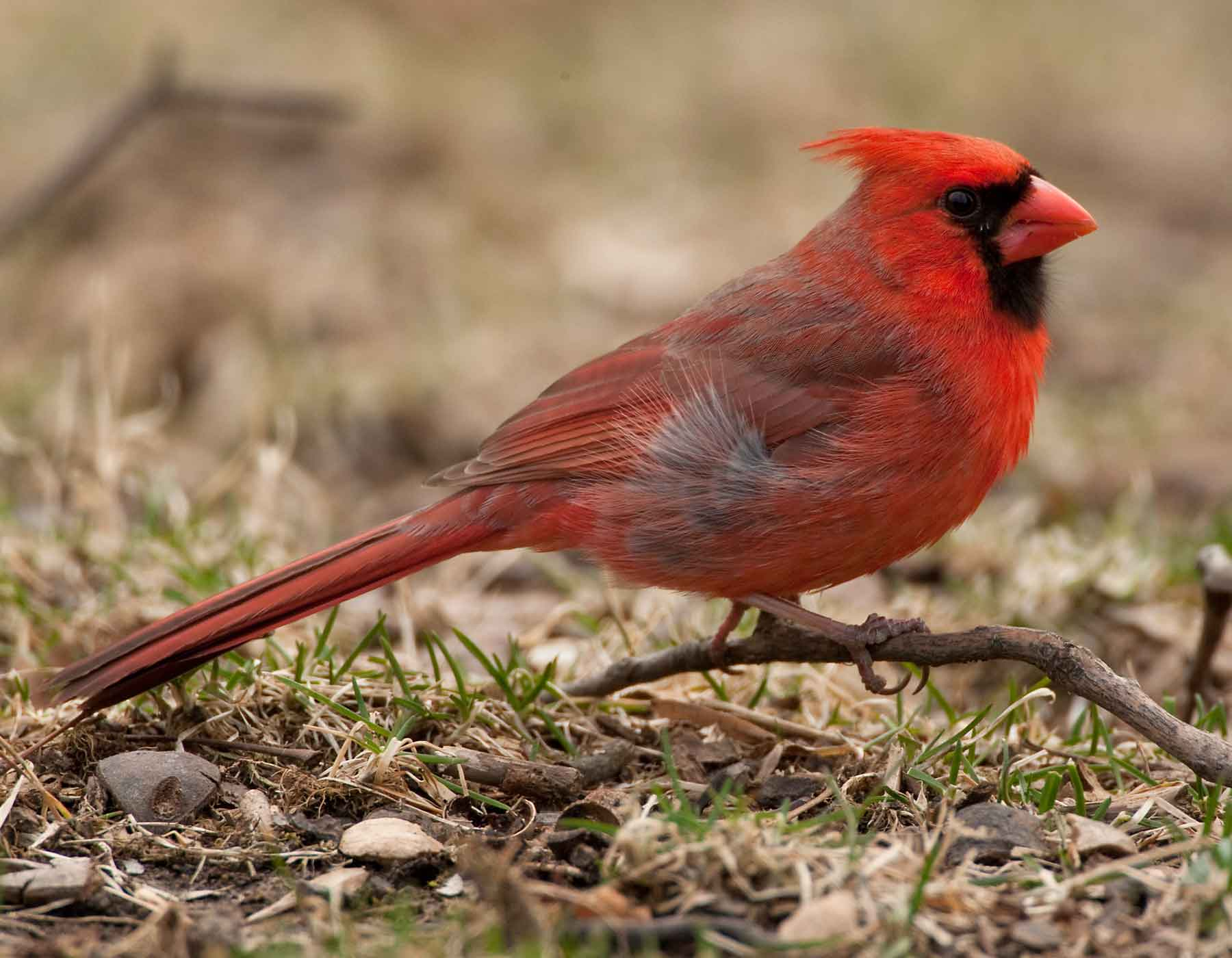 northern cardinal mdc discover nature