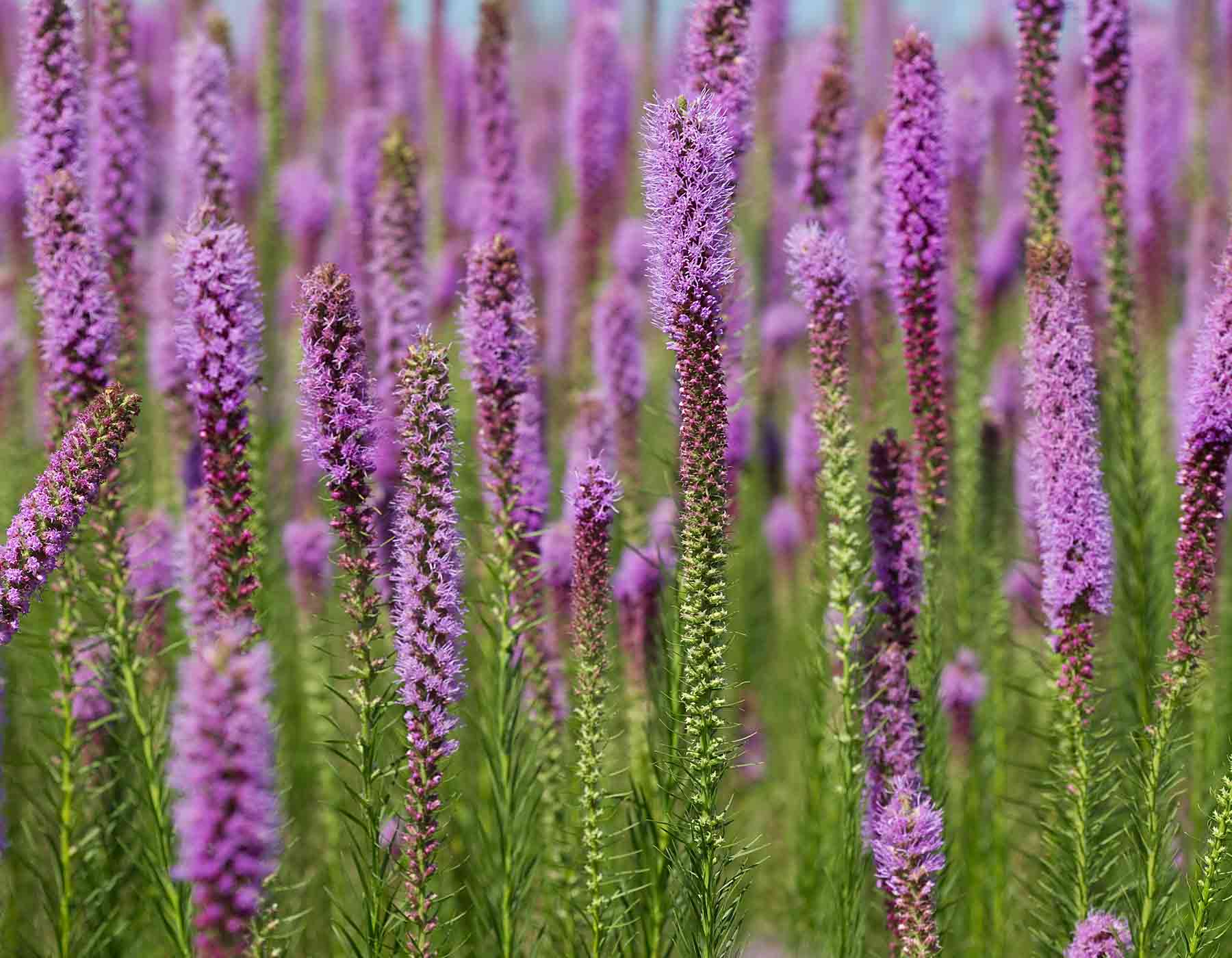 Prairie Blazing Star Gayfeather Button Snakeroot Mdc Discover Nature