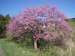 Eastern Redbud Mdc Discover Nature