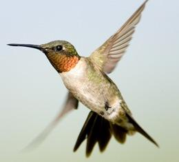 male ruby throat hummingbird in flight displaying his distinctive ruby throat patch