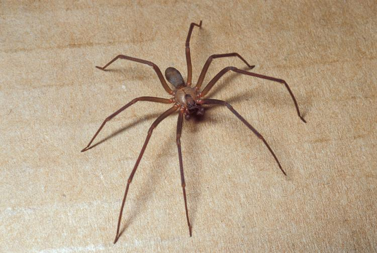 Brown Recluse (Violin Spider) | MDC Discover Nature