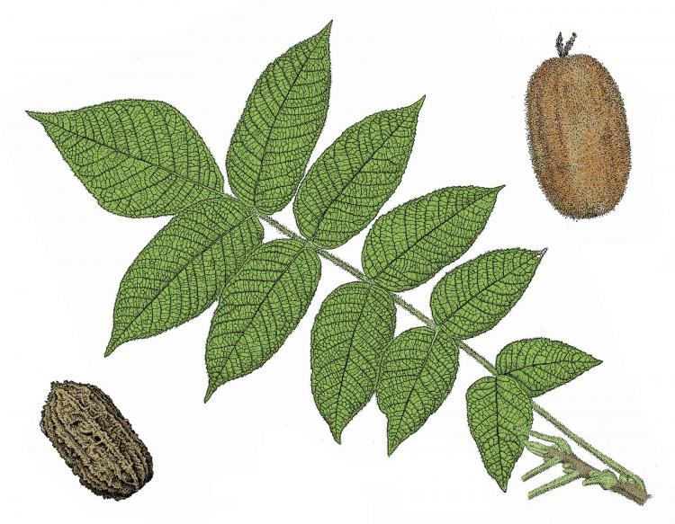 Illustration of butternut compound leaf and nuts.