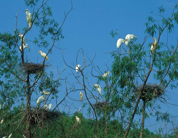 Photo of a cattle egret breeding colony