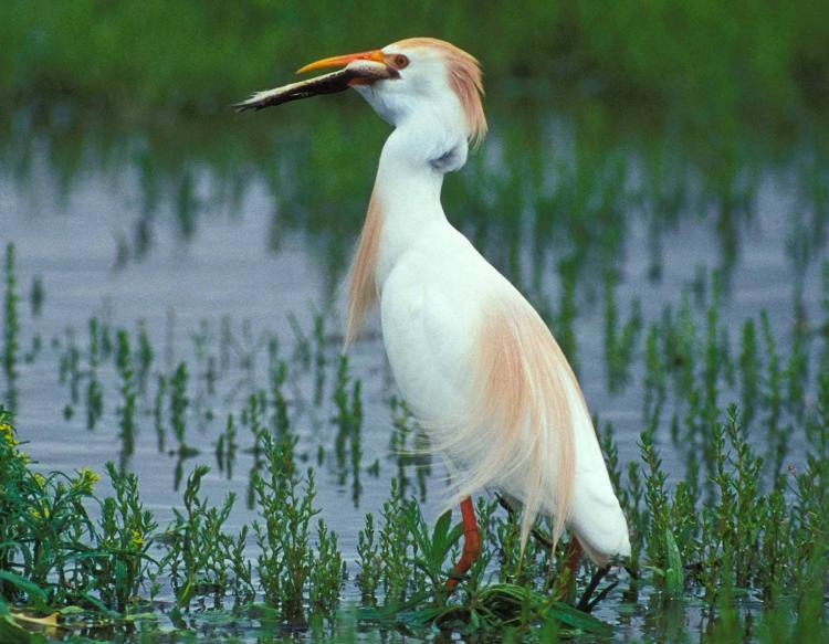 Photo of a cattle egret eating a fish