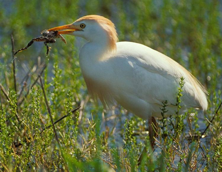 Photo of a cattle egret holding frog in its bill.