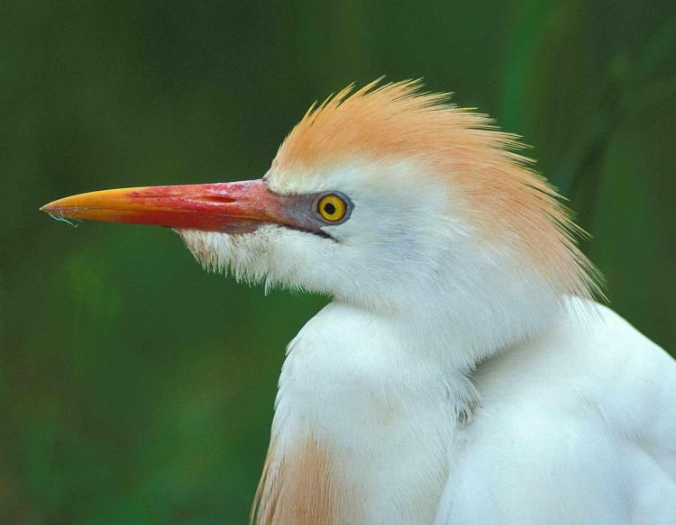Photo of a cattle egret, closeup of head