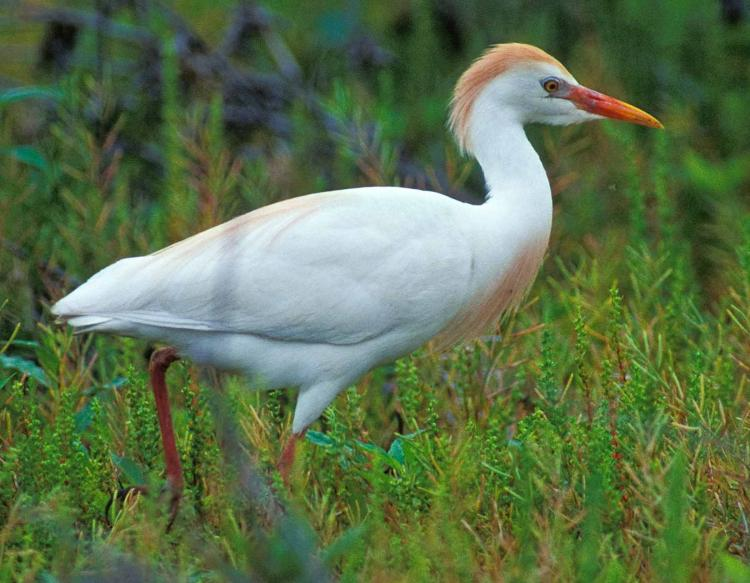 Photo of a cattle egret in high breeding plumage