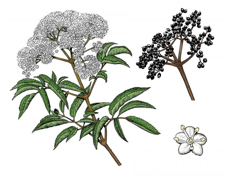Elderberry Leaf Pictures