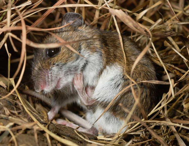 North American Deermouse Deer Mouse Mdc Discover Nature