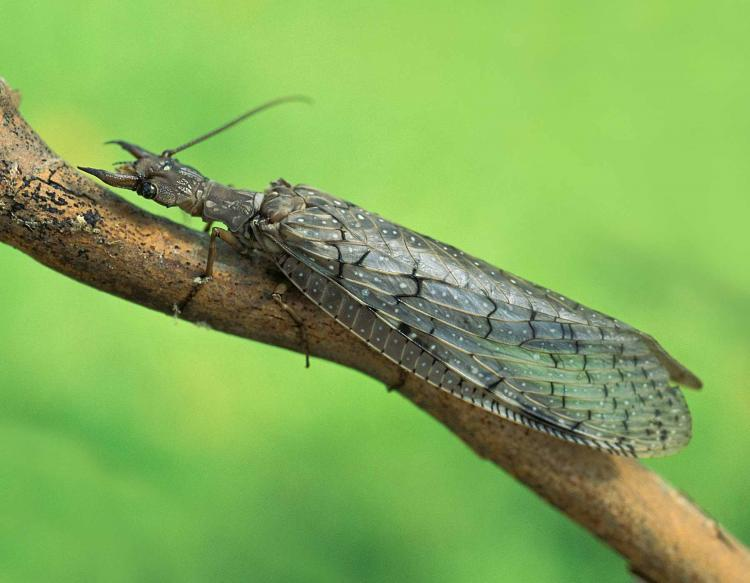 Photo of a female dobsonfly resting on a small branch.