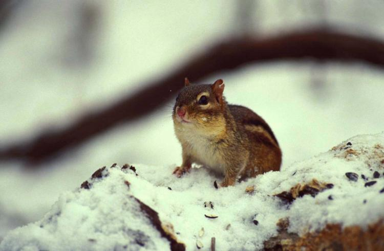 Eastern chipmunk in the snow