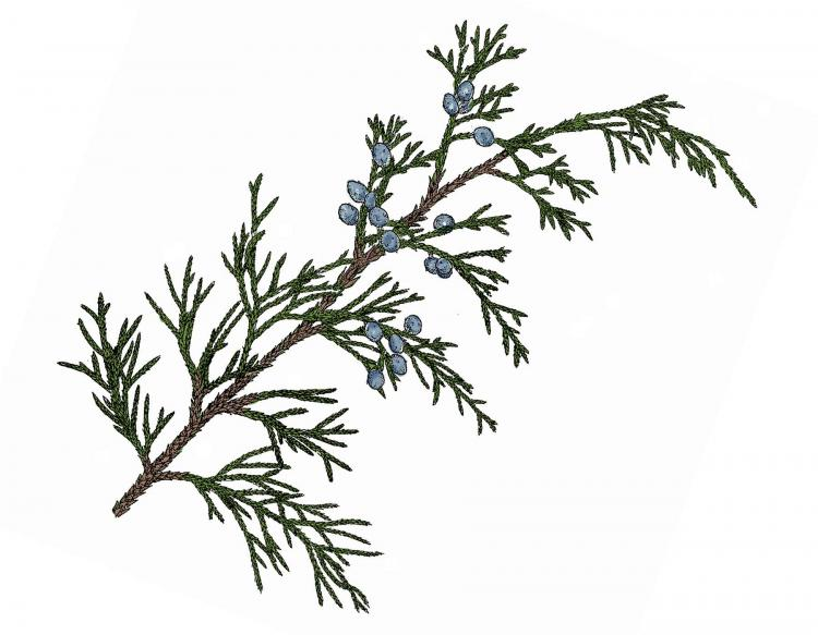 Eastern red cedar redcedar mdc discover nature