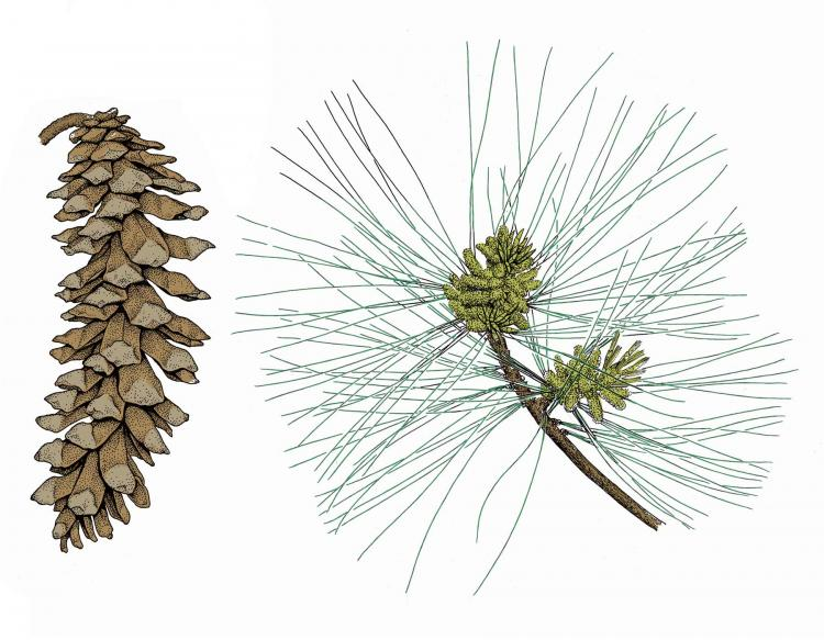 Illustration of eastern white pine needles, twig, cone.