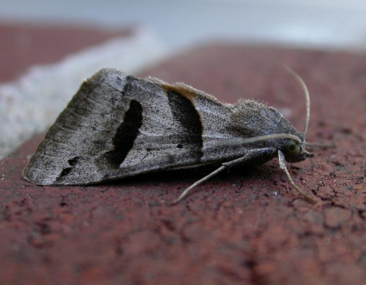 Moths | MDC Discover Nature