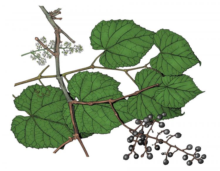 Illustration of frost grape leaves, flowers, fruit