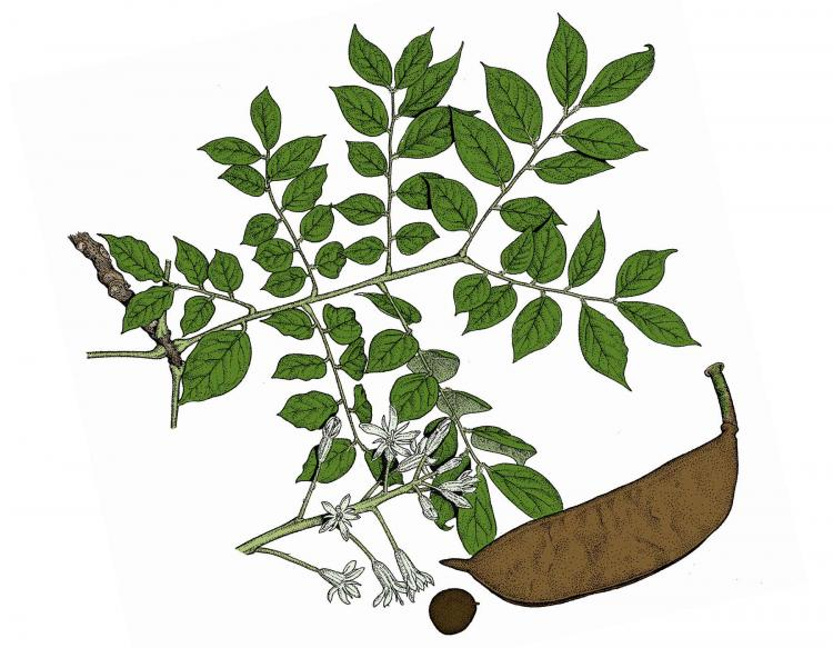 Illustration of Kentucky coffee tree leaves, flowers, fruit.