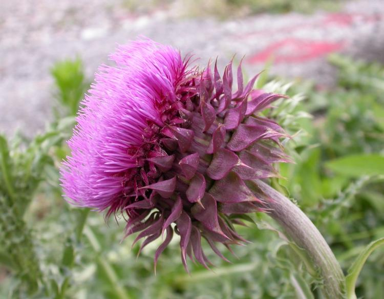 Musk thistle nodding thistle mdc discover nature musk thistle nodding thistle mightylinksfo