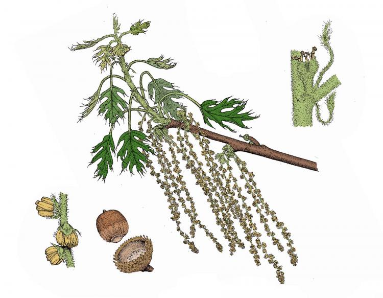 Illustration of oak flowers and catkins, male and female.