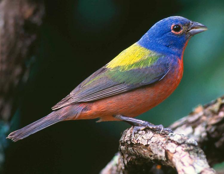 Painted Bunting Mdc Discover Nature