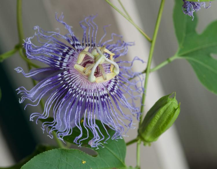 Passion flower passionflower maypops mdc discover nature photo of passion flower and bud mightylinksfo