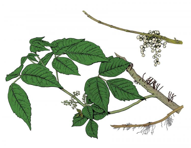 Illustration of poison ivy leaves, flowers, fruits.
