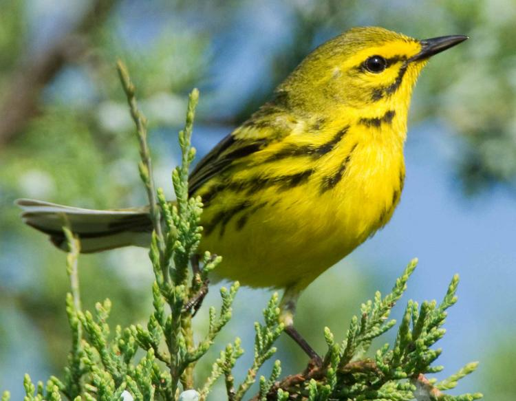 Photo of a prairie warbler perched on a red cedar sprig