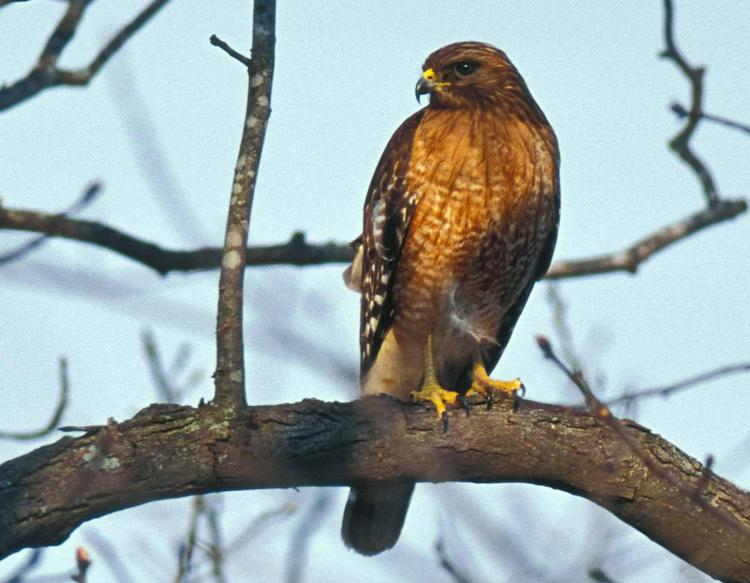 Photo of a red-shouldered hawk perched on a tree branch.