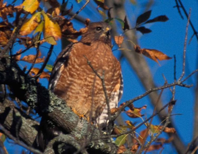 Photo of a red-shouldered hawk in a tree with autumn leaves.