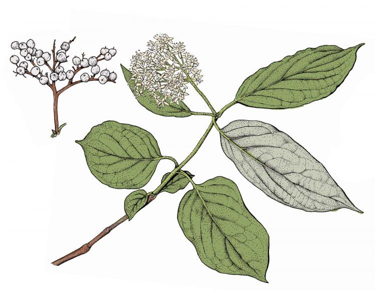 Illustration of rough-leaved dogwood leaves, flowers, fruits.