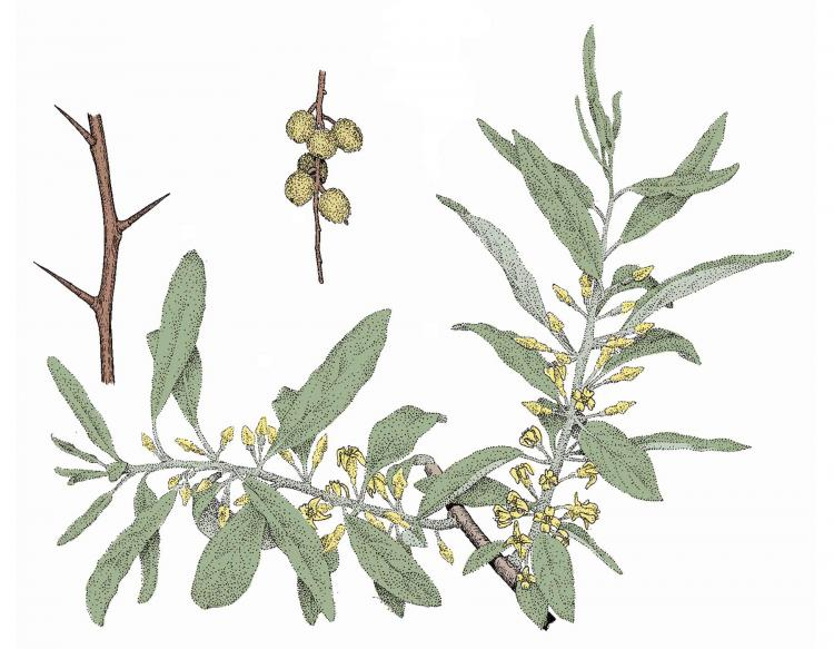 Russian Olive Mdc Discover Nature