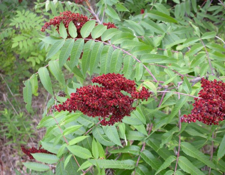 Photo of smooth sumac.
