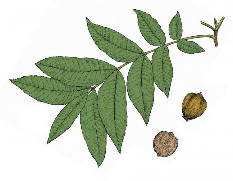 Illustration of water hickory leaf and fruit.