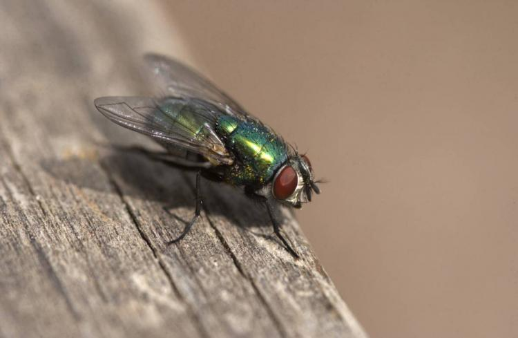 bottle%20fly - How To Get Rid Of Common Green Bottle Fly