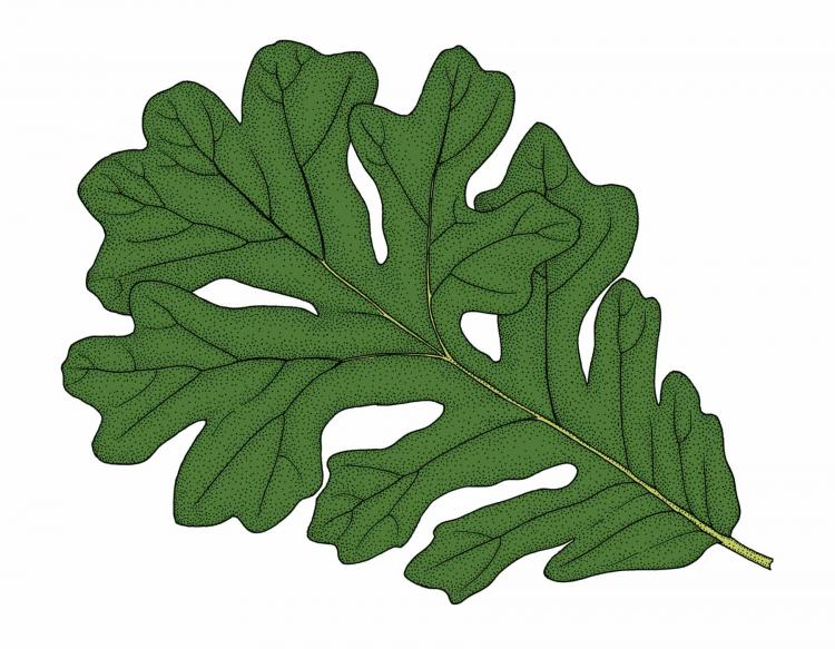 Illustration of bur oak leaf.