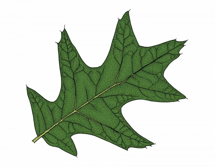 Ilration Of Cherrybark Oak Leaf