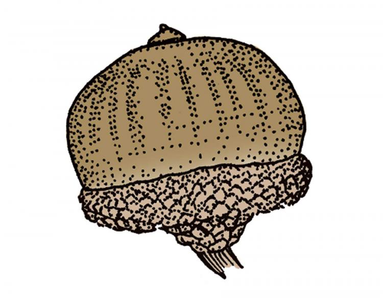 Illustration of pin oak acorn.