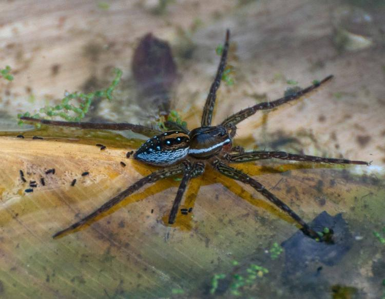 Photo of a spotted fishing spider and several water springtails at the surface of shallow water