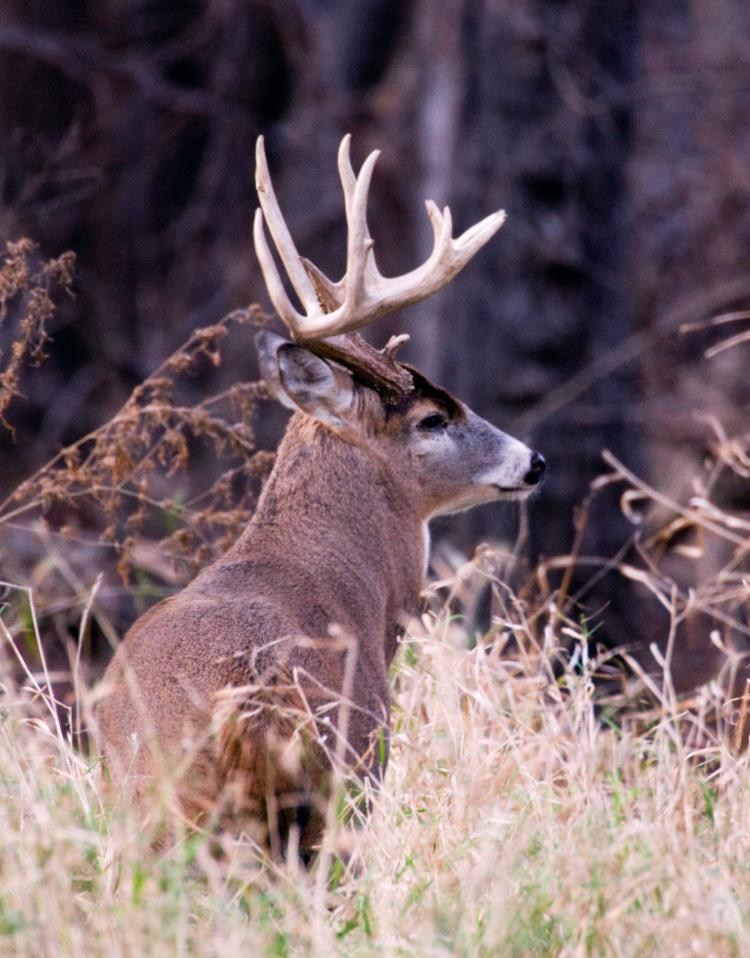 White Tailed Deer Mdc Discover Nature