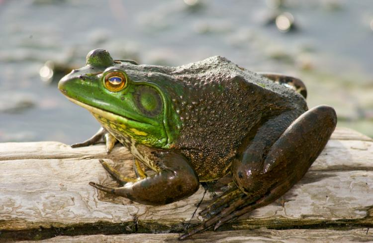 Image result for images of sleepy bullfrog