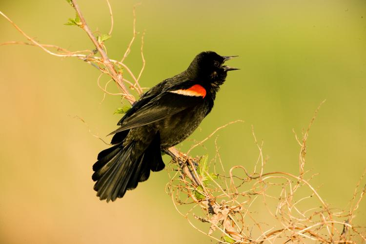 Photo of a male red-winged blackbird singing